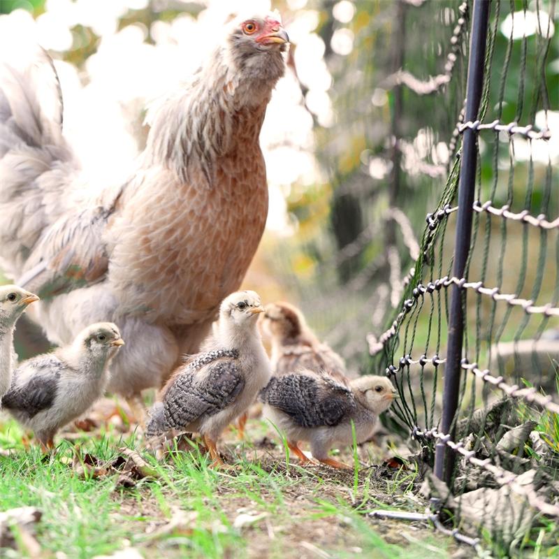 voss-farming-gefluegelnetz-huehnernetz-gruen-kueken-praxisbild.jpg