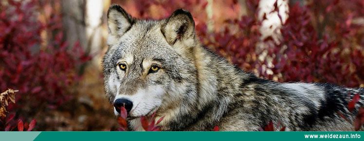 Weidezaun Ratgeber: Der Wolf ist zurück - So schützen Sie Ihre Tiere!