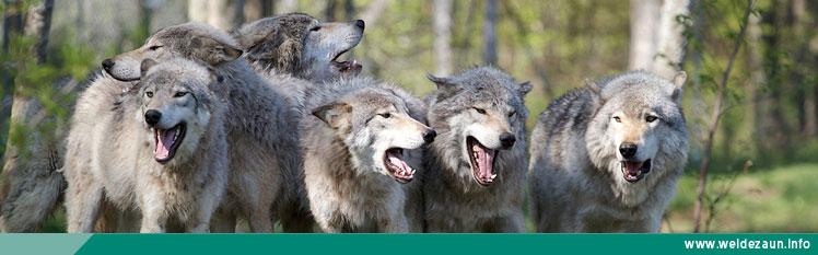 Wolfsrudel im Wald